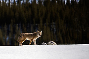Coyote, Banff National Park, Alberta, Canada