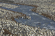 King Penguin<br /> Aptenodytes patagonicus<br /> Colony<br /> Saint Andrews Bay, South Georgia