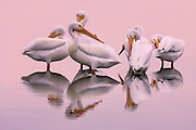 American White Pelicans (pelecanus erythrorhynchos) spend much of their year in large colonies in central and northern parts of North America, but overwinter in the Pacific and Gulf coasts, as well as along some major rivers. These large birds have a wingspan of up to three meters, and do not crash dive like the Brown Pelican, but catch their prey in their large beaks while swimming.