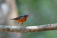 The white-throated rock thrush (Monticola gularis) is a species of bird in the family Muscicapidae of the order Passeriformes.