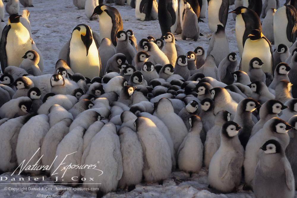 Emperor Penguin creche of chicks keeping warm. Riiser Larsen Ice Shelf, Antarctica