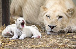 September 28, 2016 - Hodenhagen, Germany - Newborn (on 23rd September) White Lion triplets (and mother Bella) at Serengeti-Park in Germany, 28.09.2016 / Seltener Nachwuchs gleich im Trio: Weisse Loewenbabys im Serengeti-Park geboren          .Hodenhagen (28.09.2016): Babyboom der seltenen Tiere im Serengeti-Park Hodenhagen: Am Freitag (23.09.2016) sind drei Weisse Loewenbabys geboren. Die kleinen Raubkatzen sind der erste Wurf von Mutter Bella (2013). Das Geschlecht der Drillinge von Bella und Vater Nelson (2010) ist noch nicht bekannt..Bisher laeuft alles hervorragend. Bella und ihre Drillinge sind wohlauf und hungrig. Wir freuen uns sehr ueber den Nachwuchs der seltenen Weissen Loewen..Im Serengeti-Park Hodenhagen leben zusammen mit den kleinen Drillingen nun neun Weisse Loewen..- Editorial Use Only -.Supplied by Serengeti-Park Hodenhagen/face to face (Credit Image: © face to face via ZUMA Press)