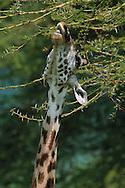 Giraffe eating acacia leaves, Serengeti National Park, Tanzania