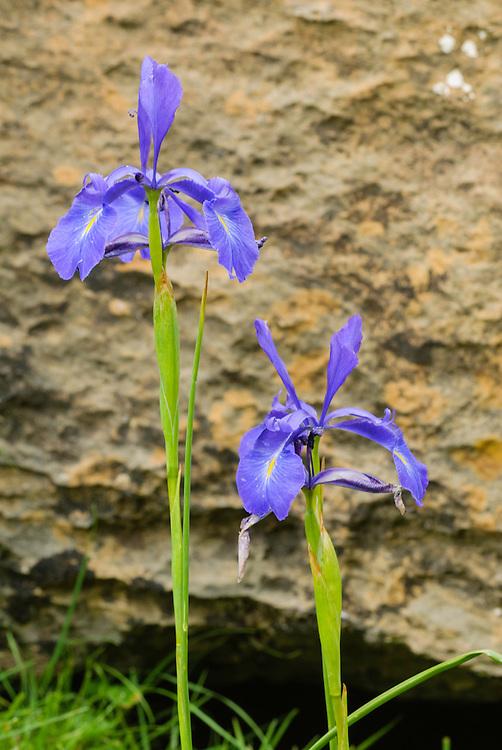 Pyreneeën lis, Iris latifolia