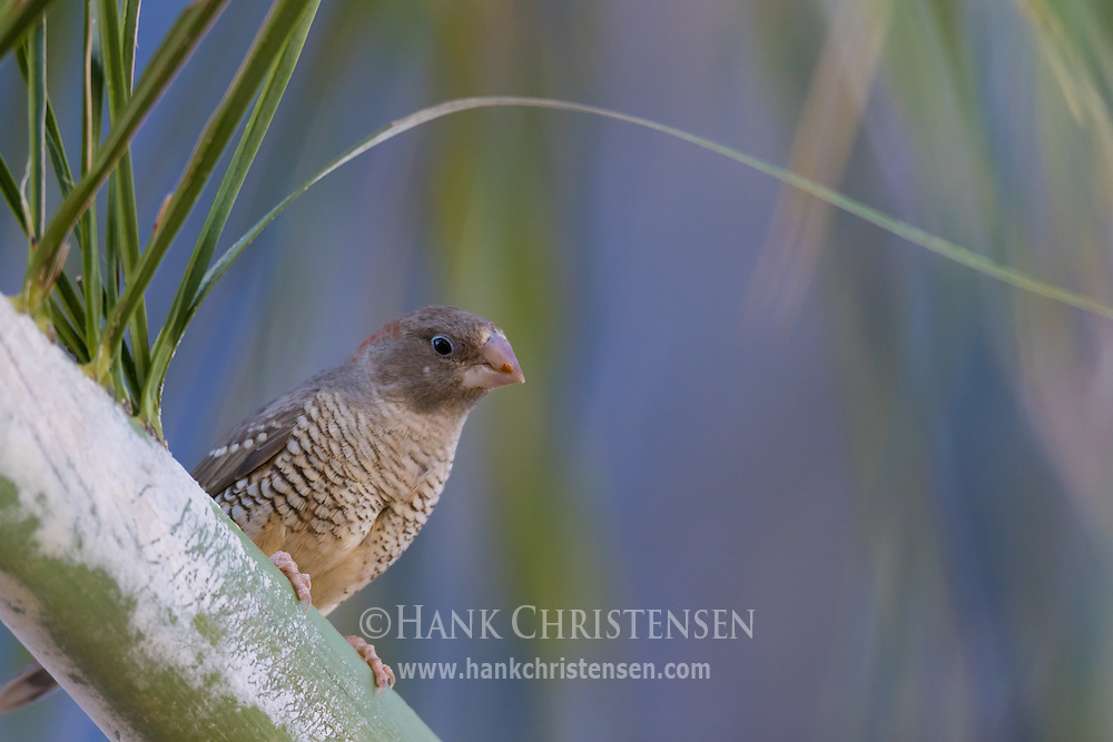 A female red-headed finch perches on a thick branch, Windhoek, Namibia.