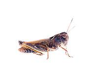 IFTE-NB-007256; Niall Benvie; Female Gomphocerippus sibiricus; grasshopper; Europe; Austria; Tirol; Fliesser Sonnenhänge; insect arthropod invertebrate; horizontal; high key; brown white; controlled; female; adult; one; moorland; 2008; July; summer; strobe backlight; Wild Wonders of Europe Naturpark Kaunergrat