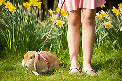 Girl legs with lop-eared rabbit on leash in a daffodil garden