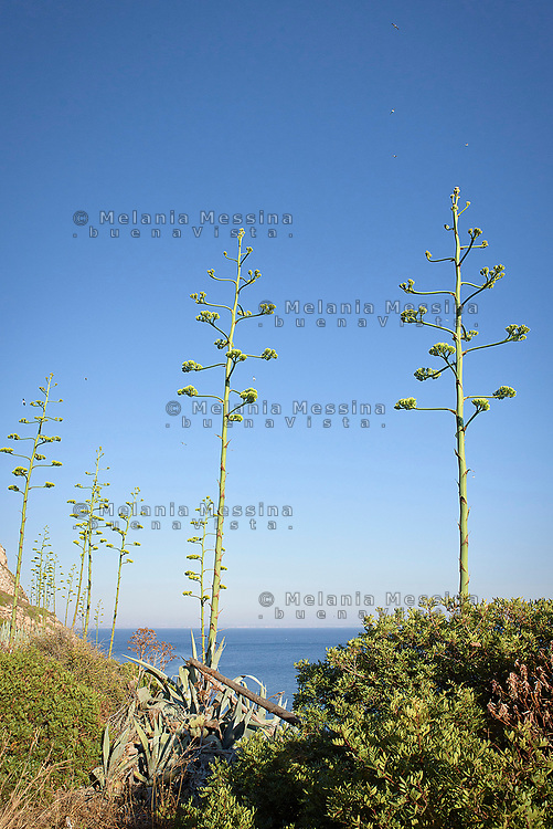 Le agavi del lungomare di Levanzo<br /> Agaves in Levanzo island,