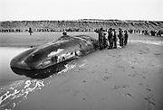 Nederland, Scheveningen, 12-1-1995Twee potvissen zijn aangespoeld op het strand. Medewerkers van het Dolfinarium in Harderwijk onderzoeken de dode dieren. Later zal van een het skelet in museum Natura Docet in Denekamp tentoongesteld worden.Foto: Flip Franssen/Hollandse Hoogte