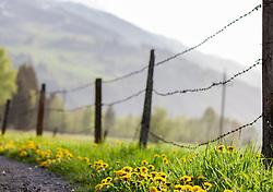 THEMENBILD - der gewöhnliche Löwenzahn (Taraxacum sect. Ruderalia) blüht von April bis Mai, aufgenommen am 28. April 2018, Kaprun, Österreich // the dandelion (Taraxacum sect. Ruderalia) flowers from April to May on 2018/04/28, Kaprun, Austria. EXPA Pictures © 2018, PhotoCredit: EXPA/ Stefanie Oberhauser