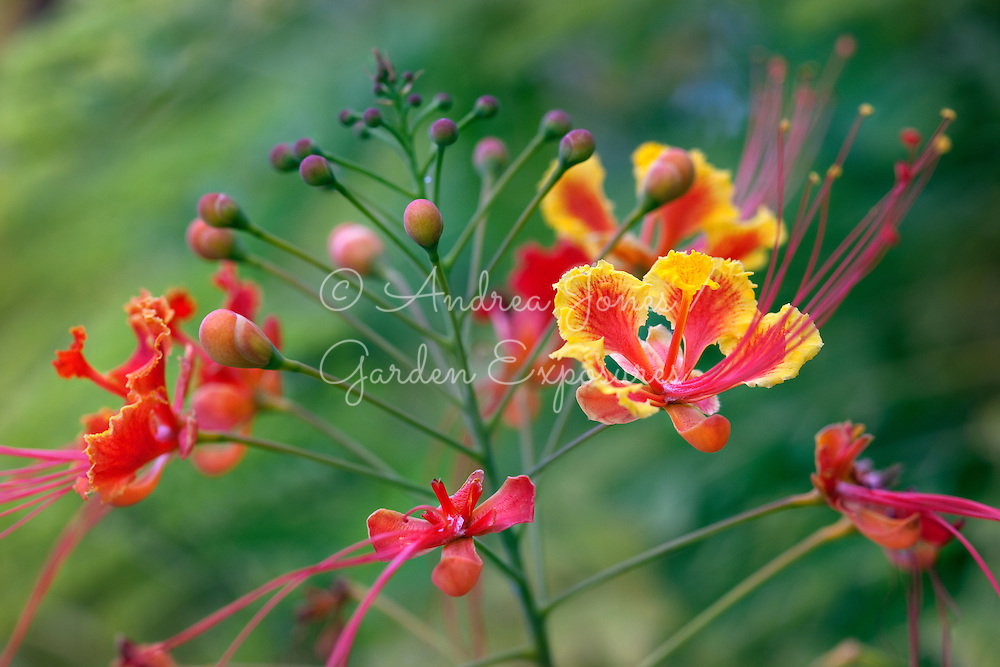 Caesalpinia pulcherrima (Poinciana, Peacock Flower, Red Bird of Paradise, Mexican Bird of Paradise, Dwarf Poinciana, Pride of Barbados, and flamboyan-de-jardin)<br /> <br /> <br /> Camana Way