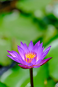 flowering purple waterlilies in a pond. Photographed in Israel in August