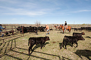 Cowboys, sorting calves, branding, Lazy SR Ranch, Wilsall, Montana