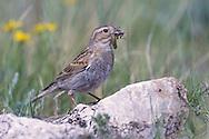 McCown's Longspur - Calcarius mccownii - breeding female