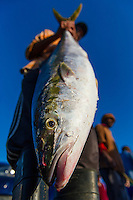 Small-scale commercial fisher with Yellowtail catch, Struisbaai, Western Cape, South Africa
