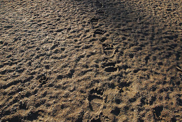 grizzly bear and wolf tracks in the sand, two medicine valley, glacier national park,