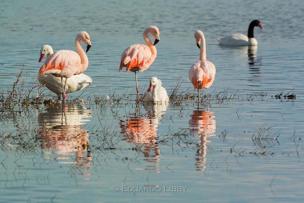 At Lago Argentino: Chilean Flamingo, Corcoroba Swan and Black-necked Swan.