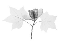 X-ray image of a tulip tree (Liriodendron tulipifera, black on white) by Jim Wehtje, specialist in x-ray art and design images.
