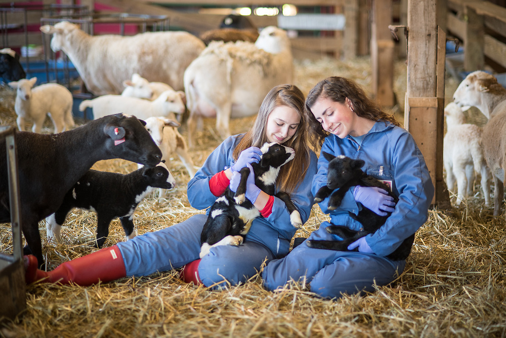 Two young adult females in coveralls lovingly hold onto two newborn lambs in a barn full of sheep, College Park, Maryland.