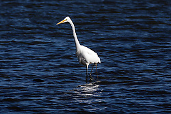 Great Egret (Ardea alba), Coyote Point Recreation Area, San Mateo, California, United States of America