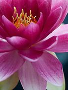 Nymphaea 'Splendida' - waterlily