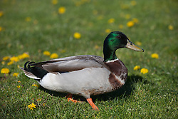 Green headed duck on a lawn