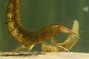 Great diving beetle larva (Dytiscus marginalis) eating Newt Larvae | Die großen Larven des Gelbrandkäfers (Dytiscus marginalis) sind mit ihren kräftigen Greifzangen sehr wehrhafte und räuberische Wasserbewohner. Sie gehören zu den natürlichen Feinden der Molchlarven. Die Greifzangen sind innen hohl und durch die Kanäle werden Gift und Verdauungssäfte in die Beute injiziert.