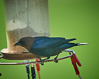 Male Brown-headed Cowbird. Image taken with a Nikon D5 camera and 600 mm f/4 VR lens (ISO 1000, 600 mm, f/5.6, 1/1250 sec).