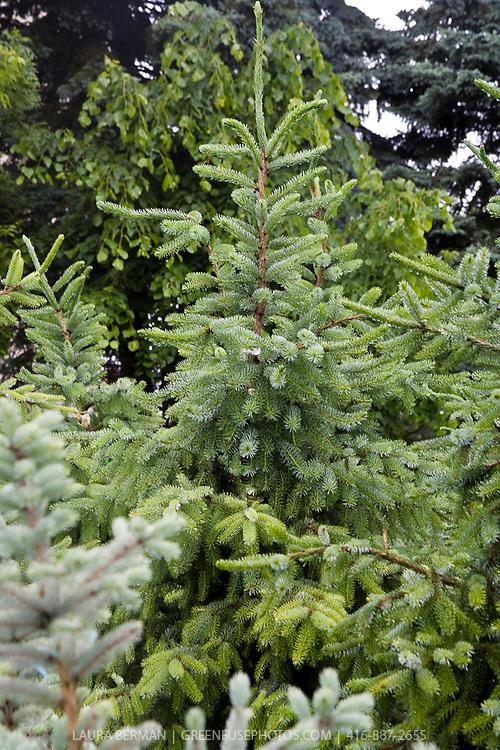Serbian spruce ( Picea omorika )