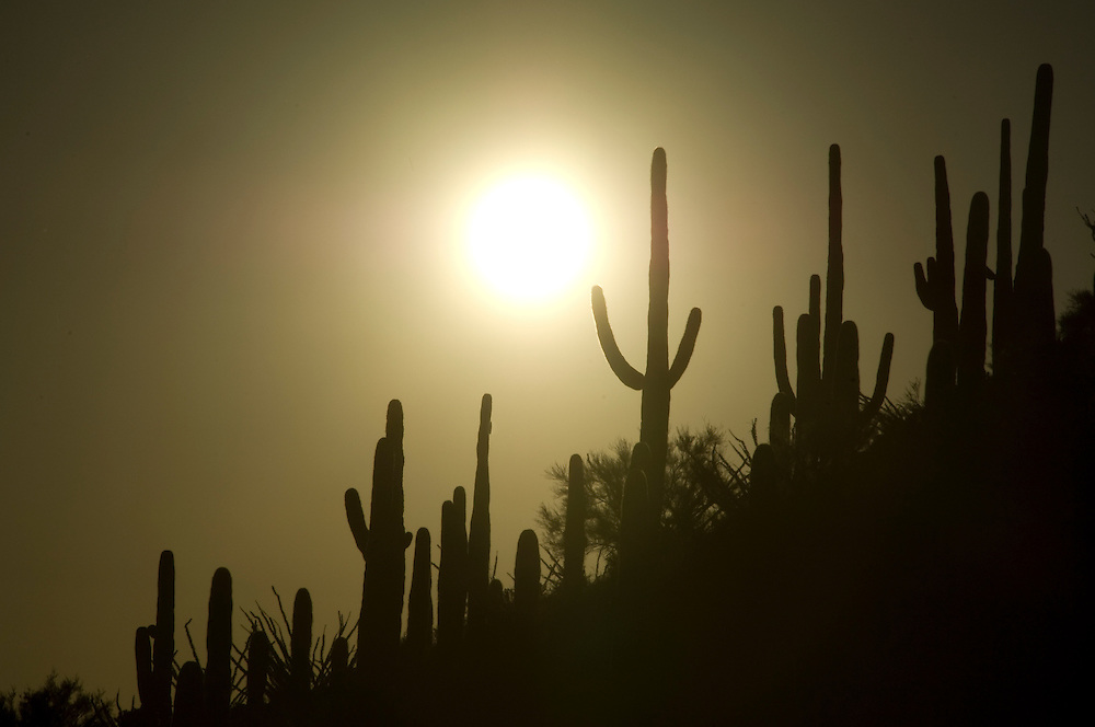 Cactus with sunset