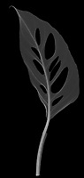 X-ray image of a Swiss cheese philodendron leaf (Monstera obliqua, white on black) by Jim Wehtje, specialist in x-ray art and design images.