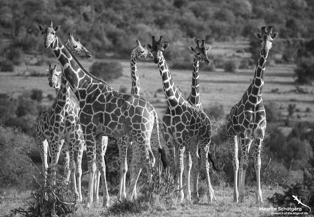 A tower of giraffes at Loisaba Conservancy, Kenya.