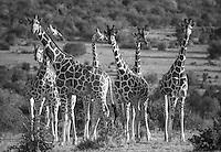 A tower of giraffes at Loisaba Conservancy, Kenya.