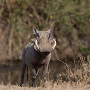 Misc. African Mammals