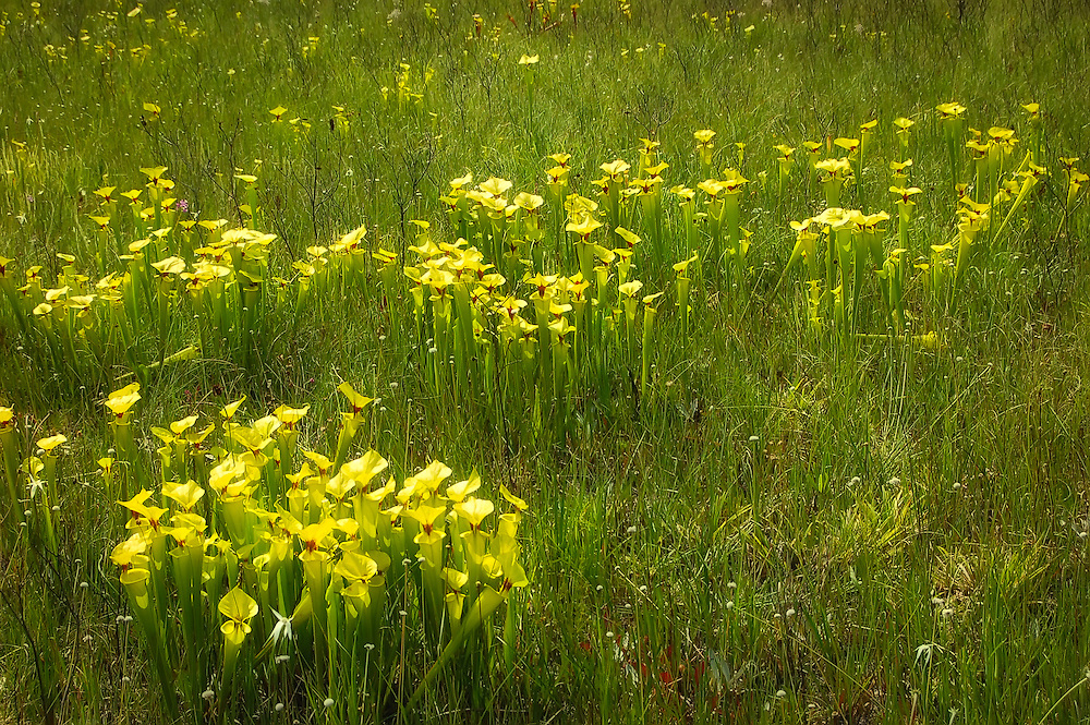 Yellow pitcher plants found growing in a dried bog in the Apalachicola National Forest. At times, whole prairies can be loaded with these large trumpet-shaped plants!