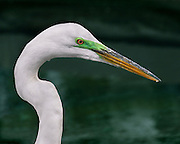 Close up of an egret.