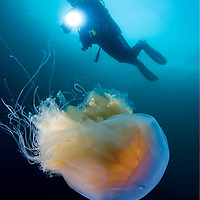 Diver and the lion's mane jellyfish (Cyanea capillata).<br /> This is the largest known species of jellyfish. Its range is confined to cold, boreal waters of the Arctic, northern Atlantic, and northern Pacific Oceans, seldom found farther south than 42&deg;N latitude.<br /> Location: Sm&ouml;gen, Sweden