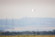 Cattle Egret flying alone at Thames Estuary.  It is feared that Avian Flu (Bird Flu) could be brought to Britain from Europe by migrating birds.