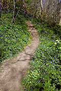 Spring wildflowers line a narrow footpath through woodland in the Dixcart valley, Island of Sark, Channel Islands, Great Britain