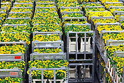 sunflower tranport inside the large warehouse hall of FloraHolland Aalsmeer Netherlands