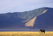 African Elephant<br /> Loxodonta africana<br /> A lone bull walks across the Ngorongoro Crater floor<br /> Ngorongoro Conservation Area, Tanzania<br /> Ngorongoro Conservation Area, Tanzania
