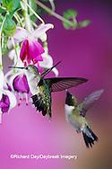 01162-06919  Ruby-throated Hummingbird (Archilochus colubris) female & male at Hybrid Fuchsia (Fuchsia)  Shelby Co.  IL