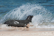 Hawaiian monk seal, Monachus schauinslandi, Critically Endangered endemic species, female  in surf at west end of Molokai, Hawaii ( Central Pacific Ocean )