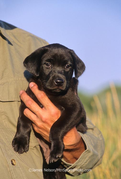 34-739. Black Labrador puppy being held.