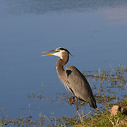 Great Blue Heron, ardea herodias, Everglades National Park.<br />
