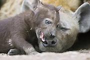 Spotted Hyena<br /> Crocuta crocuta<br /> 34 day old cub playfully chewing on mother in den<br /> Masai Mara Conservancy, Kenya