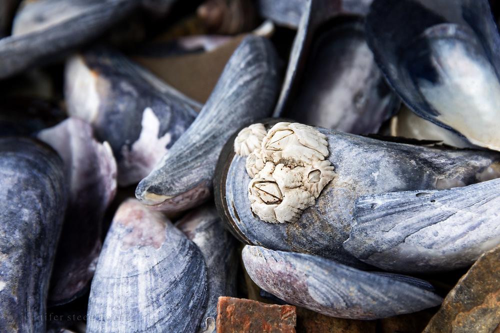 Barnacles (Semibalanus balanoides) on Blue Mussels (Mytilus edulis), Northeast Harbor, Maine