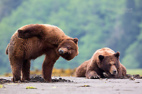 Frank the Tank with his mating partner in the Khuzteymateen Grizzly Bear Sanctuary, BC, Canada