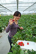 Hedgrerow Hydroponics, strawberry farm, Marlborough, South Island, New Zealand