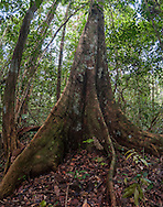 The large buttress roots of a Mora tree (Mora excelsa).